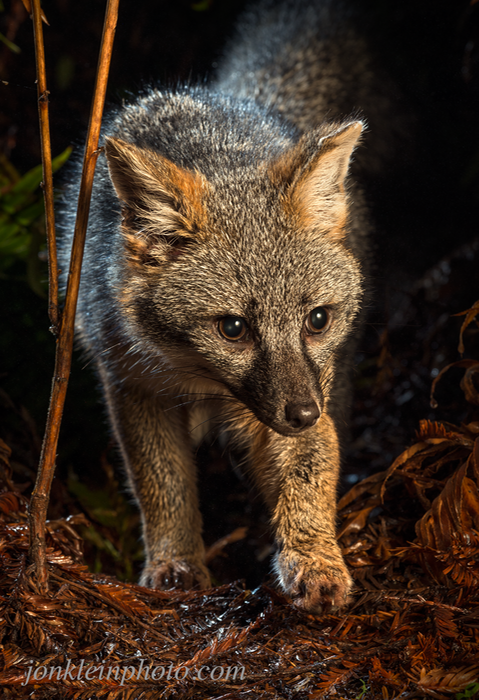 375 Prowling Gray Fox