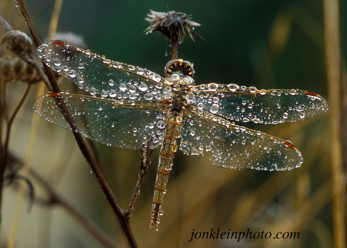 Dragonfly with Raindrops